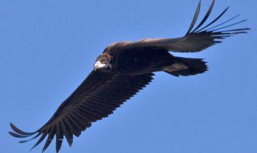 black_vulture_1